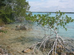 two mangroves